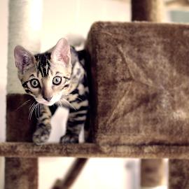 Leopardo Cat - Interbreed by Turhan Koray - Animals - Cats Kittens ( contrast, playing, animals, kitten, cat, leopard )