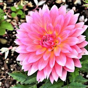 Dwarf Dahlia by Carol Leynard - Flowers Single Flower ( bloom, dahlia, pink dahlia, plant, dwarf dahlia, petals, flowering plant )