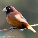 Chestnut Munia