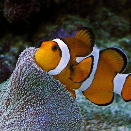Clown Fish by Ingrid Anderson-Riley - Animals Fish (  )