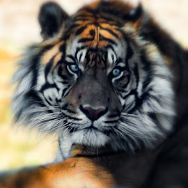 Tiger by Dave Lipchen - Digital Art Animals ( tiger )