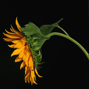 Sunflower with leaves by Cristobal Garciaferro Rubio - Digital Art Things ( petals, green, sunflower, yellow, leaves )