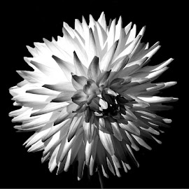 Mother Nature's Fireworks 4 Black And White by RMC Rochester - Black & White Flowers & Plants ( macro, random, nature, dahlia, black and white, abstract, flower )