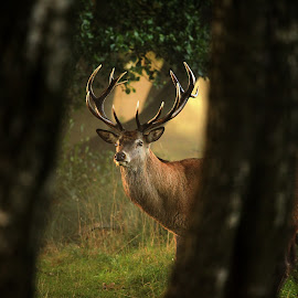 Enchanted Wood by Avtar Ram - Animals Other ( red, nature, wood, antlers, wildlife, stag, light, deer )