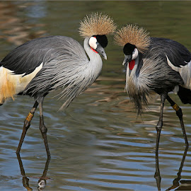 Crowned cranes by Johann Harmse - Animals Birds ( crane, nature, crowned cranes, bird, cranes, crowned crane, birds,  )