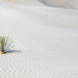 Standing Alone by John Finch - Landscapes Deserts ( plant, nature, white sands new mexico, landscape, white sand )
