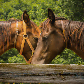 She is Taking My Picture, Not Yours by Keith-Lisa Bell Bell - Animals Horses ( brown eyes, fence, animals, horses, brown hair )