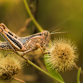 Grasshopper by Ida Burress - Animals Insects & Spiders ( macro, macrophotography, bug, insect, macro100mm, grasshopper )