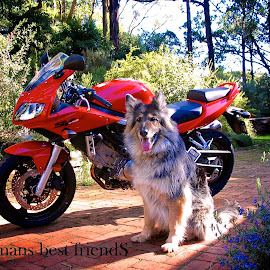 womans best friends by Donna Racheal - Digital Art Animals ( motorbikes, dogs, suzuki, motorcycle, german shepherd, sv650s )