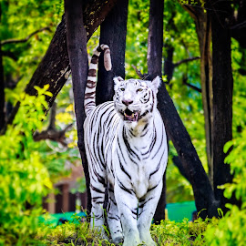 White Tiger by AJ Canon - Animals Lions, Tigers & Big Cats ( forests, animals, tiger, nature, white, wildlife )