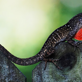 I'm over here pretty lady lizard by Alycia Marshall-Steen - Animals Reptiles ( lizard, lizard love, llizard on fence, anole )