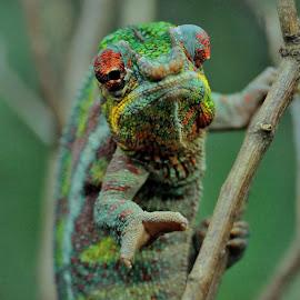Cameleon by Tomasz Budziak - Animals Reptiles ( reptiles, animals )