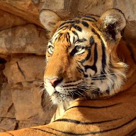 Tiger of Rathambore by Manoj Kulkarni - Animals Lions, Tigers & Big Cats ( cub, nature, ranthambore, tiger, wild, wildlife )