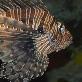 Lion Fish by Michele Kelley - Novices Only Wildlife ( animals, sea creature, lion fish, novices only, wildlife )