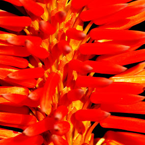 Fire by Adell du Plessis - Nature Up Close Other plants ( plant, succulent, red, nature, red flower )