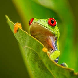 Cheeky Red Eyed Tree Frog by Sandra Cockayne - Animals Amphibians ( red eyed tree frog, frog, tree frog, froggy, amphibian, grumpy frog, sandi cockayne, cute, green frog, cute frog, cute green froggy, red eyes, sandra cockayne, frogs, red eye, cute froggy, animal )