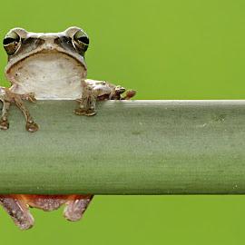 Lepang wah aneh. by Sukran Ma'rif - Animals Amphibians