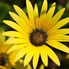 Yellows by Gil Reis - Flowers Single Flower ( macro, life, bio, nature, flowers,  )