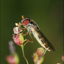 Fly eating pollen by Aditya Satpute - Animals Insects & Spiders ( pollen, macro photography, fly, nature up close, insect )