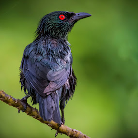 Black Starling by Mahdi Hussainmiya - Animals Birds ( motionless, bird, details, fresh, still, feathers, black, eye )