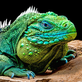 by Judy Rosanno - Animals Reptiles (  )