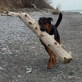 Walk softly carrya big log by Anthony Carlo - Animals - Dogs Running (  )