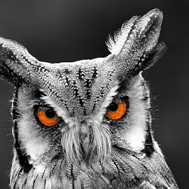 I Only Have Eye's For You by Russell Mander - Animals Birds ( small, owl, big eyes, mean, grey  feathers )