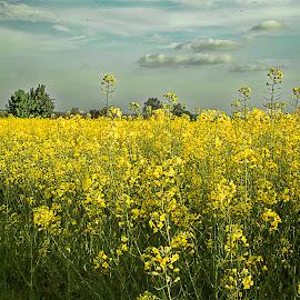 Canola by Berrin Aydın - Landscapes Prairies, Meadows & Fields ( clouds, prairies, trees, yellow, bulgaria,  )