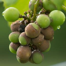 grapes by Petrina Grimes - Nature Up Close Gardens & Produce ( fruit, grapes, green, summer, raindrops )