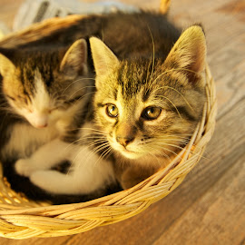 Tuckered Out by Catherine Trudeau - Animals - Cats Kittens