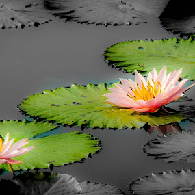 Lotus by Said Rizky - Nature Up Close Flowers - 2011-2013