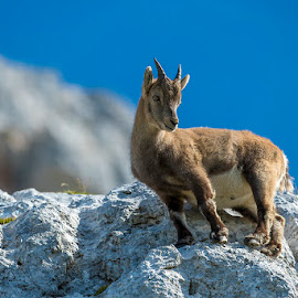Kid of the hill by Blaž Ocvirk - Animals Other Mammals ( capricorn, young )