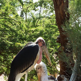 Marabou  Stork and Chick  by Donna Probasco - Novices Only Wildlife (  )