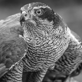 Goshawk by Garry Chisholm - Black & White Animals ( bird of prey, nature, garrychisholm, raptor, goshawk )