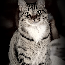 Perfectly Symmetrical by Gwen Henning Short - Animals - Cats Portraits ( cat, black & white, goatee, tabby, portrait )