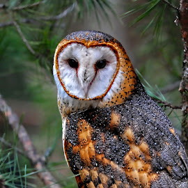 In The Trees by Roy Walter - Animals Birds ( animals, captivity, barn owl, wildlife, birds )