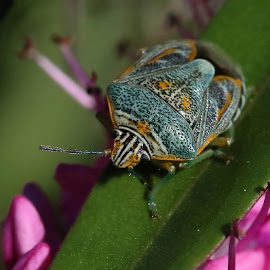 Little turquoise beetle by René Wright - Animals Insects & Spiders ( nature's wonder, turquoise, creature, insect, beetle, early morning )