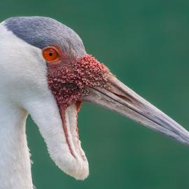 Wattled Crane by Eleanor Hattingh - Animals Birds ( freedom, safari, south africa, crane, birds,  )