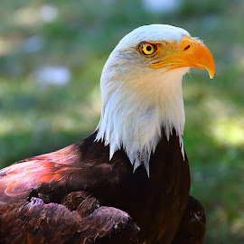 Bald eagle by Gérard CHATENET - Animals Birds