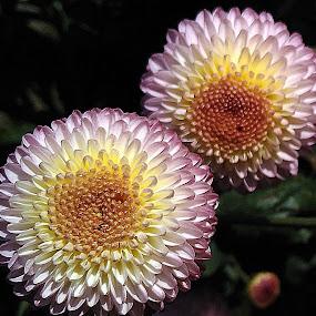 Twins! by Pradeep Kumar - Flowers Flower Arangements