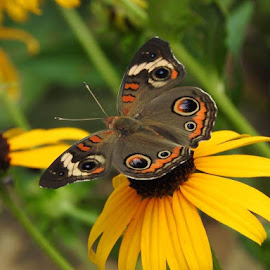 Common Buckeye by Bill Martin - Animals Insects & Spiders ( butterfly, flower garden, macro, nature, color, insect )