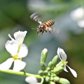For food by Indraneel Bhattacharyya - Animals Insects & Spiders ( fly, bee, food, nectar, flowers )