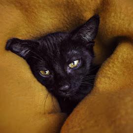 Sleepy Little Lycan 2 by B Lynn - Animals - Cats Portraits ( expression, face, cat, sad, emotive, yellow, cute, eyes, cats, shadow, pets, emotions, baby animal, baby, kittens, gold, portraits, light, black, animal, mammals, pet photography, animals, kitten, black kitten, black cats, baby animals, expressive, portrait, mammal, black cat, emotion, pet portrait, pet portraits, sweet, pet, adorable, #GARYFONGDRAMATICLIGHT, #WTFBOBDAVIS )