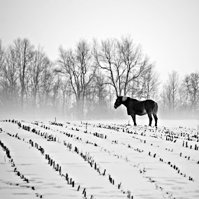 Work Horse by Kellie Prowse - Animals Horses ( farm, amish, work, field, horse )