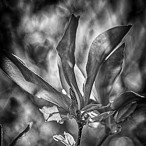Magnolia dramatic by Tony Mortyr - Black & White Flowers & Plants ( magnolia, flowers, garden )
