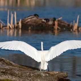 Great Egret by Rachel Bilodeau - Animals Birds ( great egret )