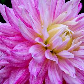 Pink Dahlia close up  by Jim Downey - Flowers Single Flower ( pink, white, dahlia, yellow, dewy )