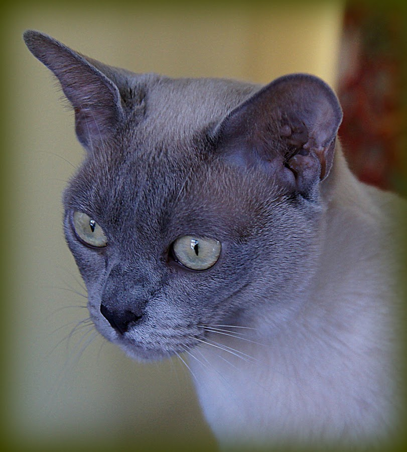 burmese cat by Caroline Beaumont - Animals - Cats Portraits ( burmese cat )