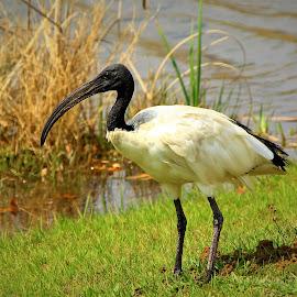 Looking for breakfast. by Mickey Herd - Animals Birds ( water, bird, wild bird, nature, bird photography )