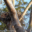 Wallace's Hawk Eagle nest